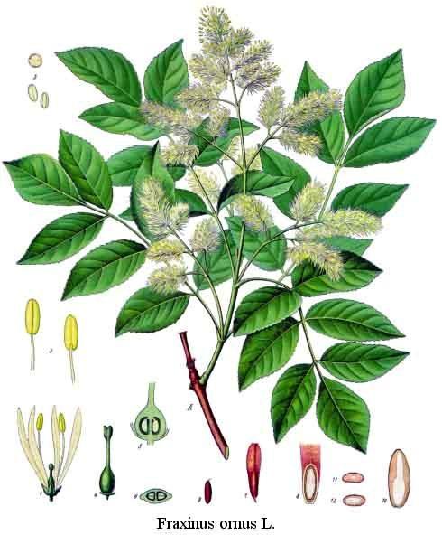 оксен дърво Семейство Маслинови (Oleaceae) | Читател   живей в по добрия свят! оксен дърво
